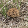 Thumbnail image for The Great Nebraska Mushroom Hunt