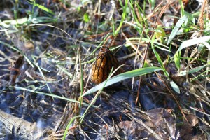 IMG 3500 300x200 Black Morel 2011 3